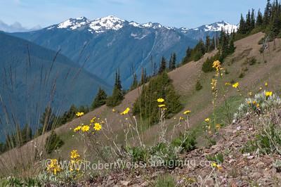 Wildflowers along the Hurricane Ridge Trail, Olympic National Park.