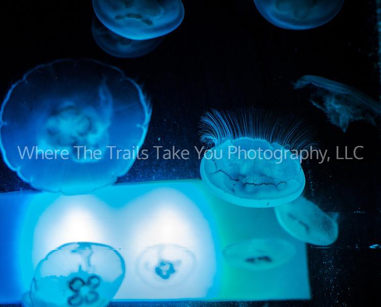 53  Moon Jelly Fish (aka Moon Jellies) at the Seattle Aquarium