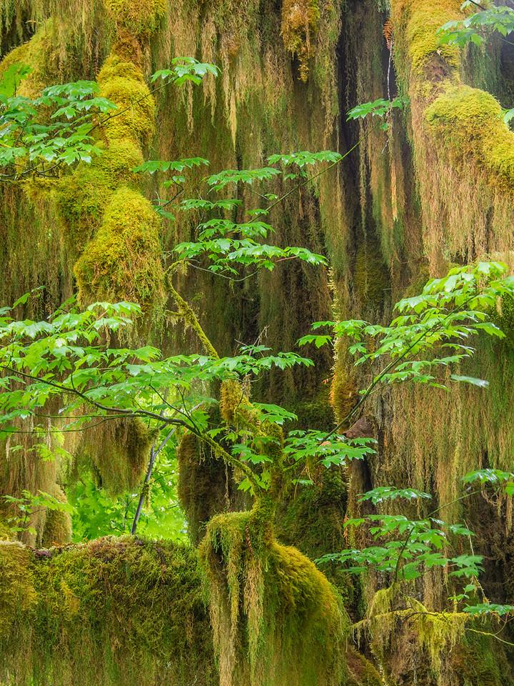 Bigleaf maple and moss