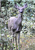 Deer<br /> Shanendoah Mts., Virginia<br /> 162-5134a