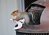Squirrel with french fries<br /> Pohick Bay, Virginia<br /> 162-5036