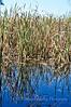 Reeds on Herdsman Lake - Australia