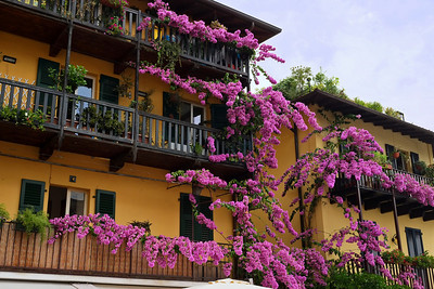 Bougainvillea in Limone