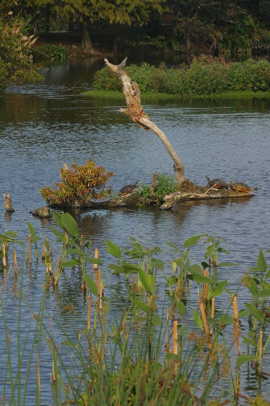The turtles find a dry spot at the Wakodahachee Wetlands in Palm Beach.