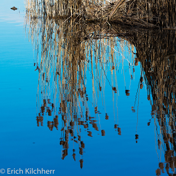 Reed mirrored on Lake Baldegg, Canton Lucerne