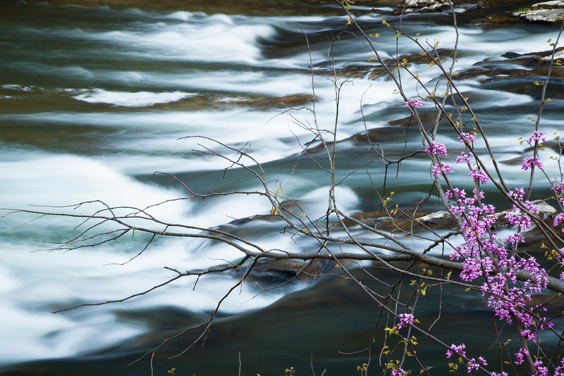 Redbuds along the South Branch <br /> of the Potomac River, WV<br /> (IMG_5499_3)