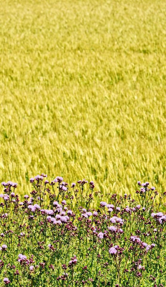 """""""Summer Field""""<br /> Image # CF24"""