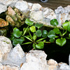 Water Hyacinths in Koi Pond_SS5382