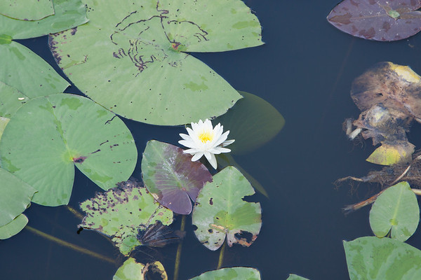 Waterlily_SS095089