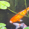 Koi Pond_SS5459