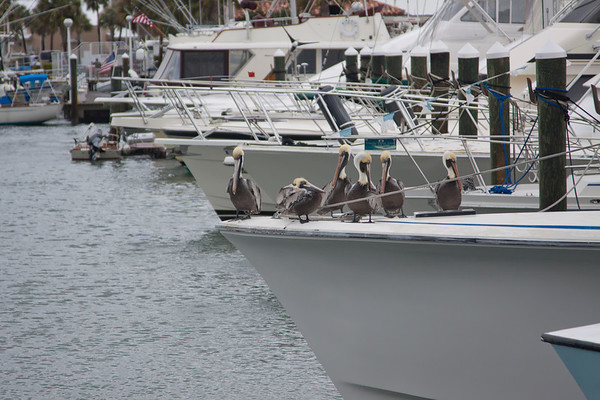 Pelicans on Boat_SS0194