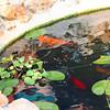 Koi Pond_SS5465