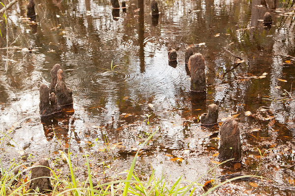 Cypress knees_SS8339