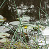 Spatterdock Cow Lilies_SS8182