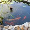 Koi Pond_SS5376
