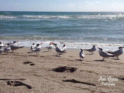 Birds on the Beach Hollywood Beach, Florida