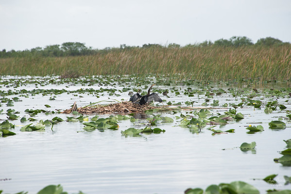 Florida Animal Nature Photographer Anhinga Everglades Holiday Park