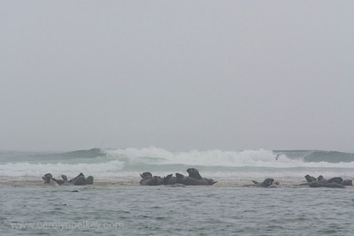 Gray Day with Seals in Wellfeet