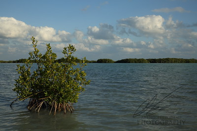 Red Mangroves in Florida Bay