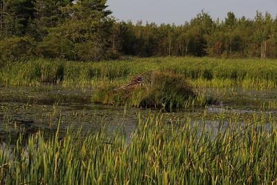Beaver Habitat in freshwater marsh