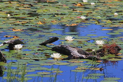 Maine Pond With Lily Pads And Water Lillies