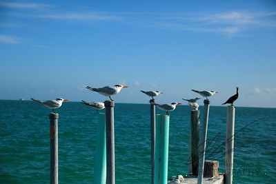 Perching Royal Terns