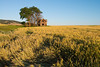 Abandoned farm house surrounded by wheat fields