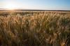 Wheat field at sunrise