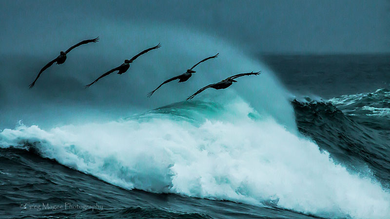 Pelicans over a breaker