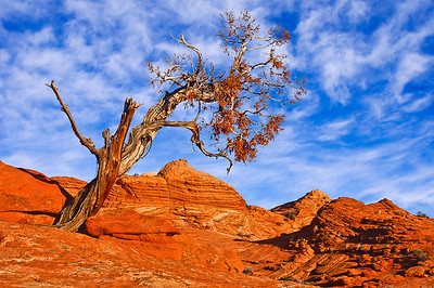 Gnarly juniper tree in the North Coyote Buttes