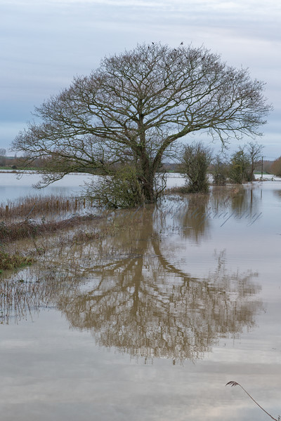 Flooded farmland on the outskirts of Glastonbury on a calm morning with tree reflected in the floods.