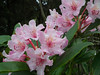 Wild rhododendron blossoms