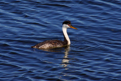 Western Grebe, Clear Lake, CA