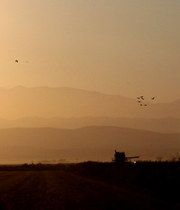 combine and birds from the car in CA's Central Valley