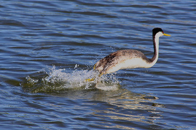 Western Grebe escape on Clear Lake, Lake County, CA