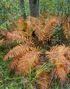 Autumn Ferns ~ Cranberry Glades, WV