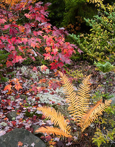 Yellow Ferns and Red Maple ~ Highland Scenic Highway, WV