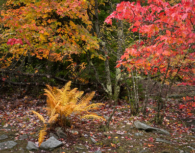 Autumn Ferns and Maples ~ Highland Scenic Highway, WV