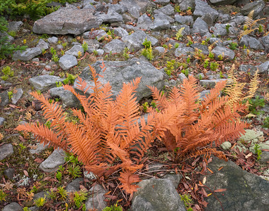 Autumn Ferns and Rocks ~ Highland Scenic Highway, WV