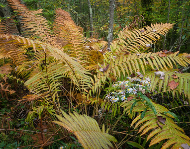 Ferns and Flowers ~ Cranberry Glades, WV ~ September 2011