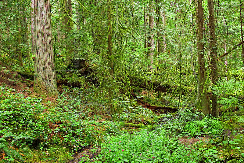 Temperate Rain Forest Scenery,<br /> Vancouver Island, British Columbia