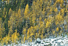 Larch Pine Fall Color,<br /> Plain of Six Glaciers, Banff National Park, Alberta, Canada