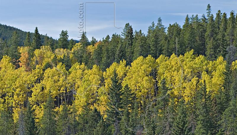 Aspen and Pine,<br /> Kananaskis Country, Alberta, Canada
