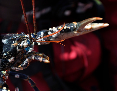 Lobster, this one had been caught in a lobster pot that the RIB company check to show visitors various sea creatures.