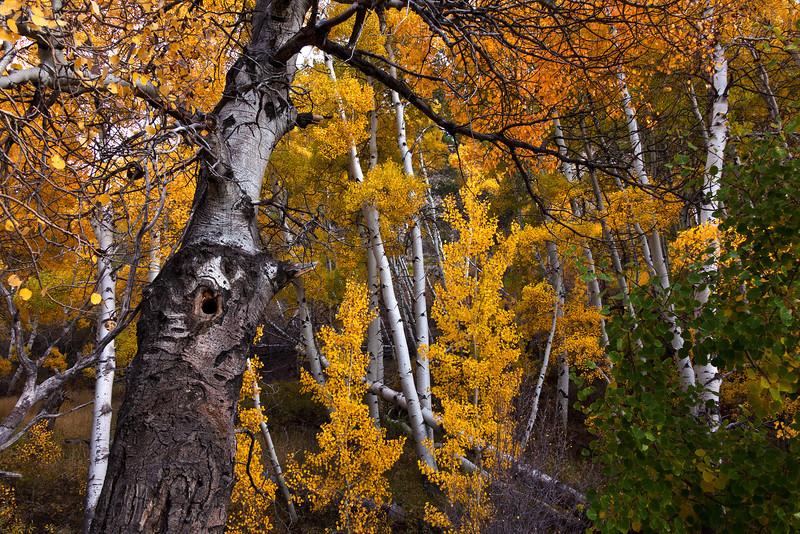 Monitor Pass Autumn Aspens 8, CA