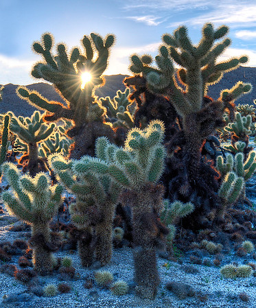 Cholla Cacti against sunset in Anza Borrego State Park, California