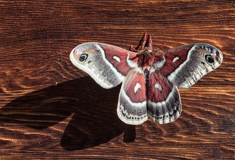 At a visitor center in Rocky Mountain National Park a silk moth perched quietly outside the restroom door.