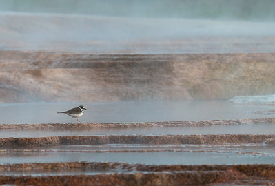 A killdeer at Mammoth Hot Springs. Ranchers are apparently competing for water from the aquifer that supplies Mammoth Hot Springs. The volume of water flowing from the springs is much reduced; the color and steam is markedly less than it was when I visited just three years ago.