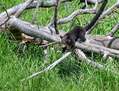For two hours, a mother black bear and her three cubs foraged and wandered along the roadside.