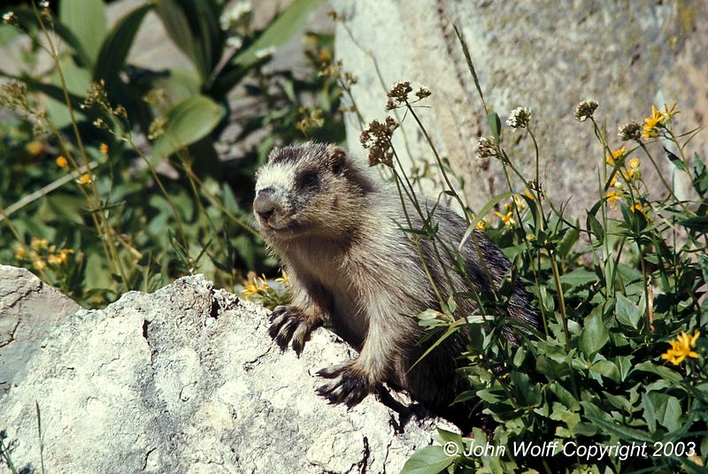 <b> Marmot on the lookout, Mt Ranier National Park </b>